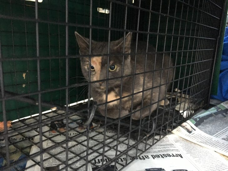 Cat named Callie in a humane trap