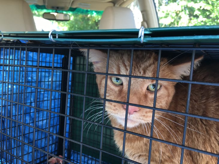 Cat named Ginger in a humane trap