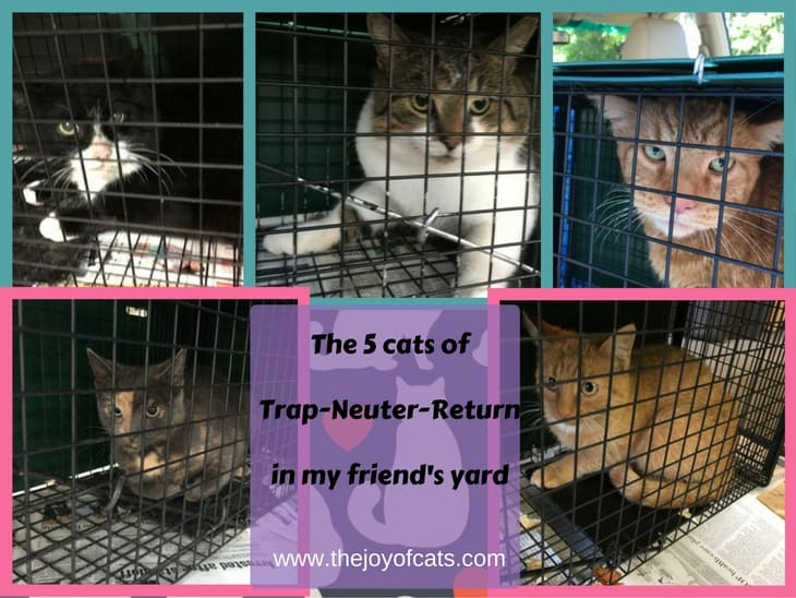 The 5 cats of Trap-Neuter-Return (TNR) in my friend's yard